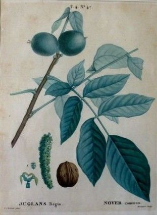 Two botanical prints