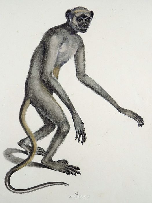 Karl Brodtmann (1787 - 1862) Folio 31.5 cm - Miriki Monkey - Hand coloured stone lithograph - 1824