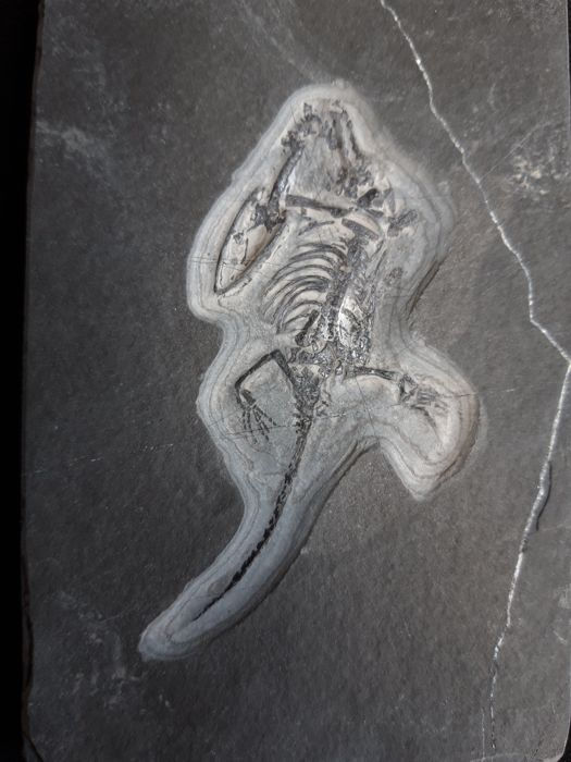 Fine and detailed Swimming Reptile Fossil - On matrix - Keichousaurus hui - 12.3×8×1 cm