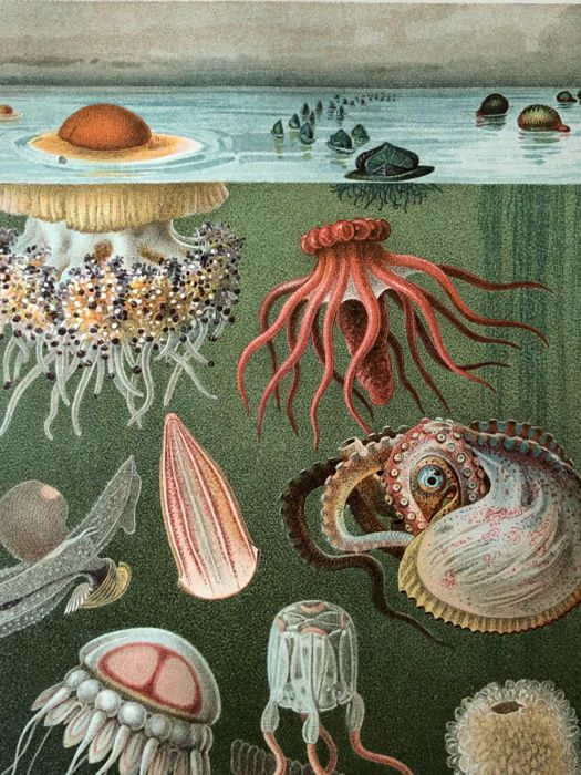 Meyers - Set of 17 antique sealife prints (1907): fish, anemones, aquarium, worms, shells, corals. jellyfish