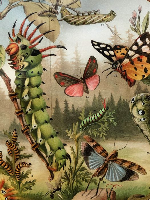 Meyers - Set of 13 antique Butterfly and Insect prints (1907)