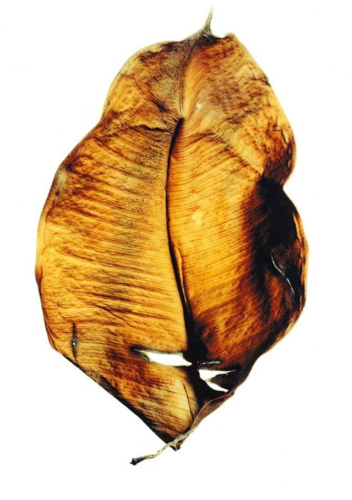 Conor Masterson (1971-) - Dried Leaf, 1999