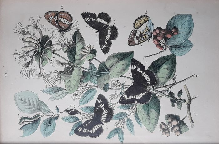 Robert Sweet - Twelce coloured prints - British Butterflies and Moths