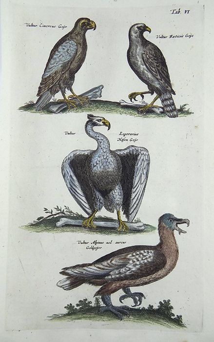 Matthäus Merian (1593 - 1650) Folio 37.8 cm - Birds of Prey Vultures - Ornithology - Hand coloured copper engravings - 1657
