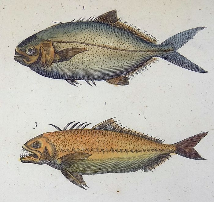 Francis Willughby (1635-1672) - Folio Engraving - Scomber Glaucus Fish - Hand coloured - 1686