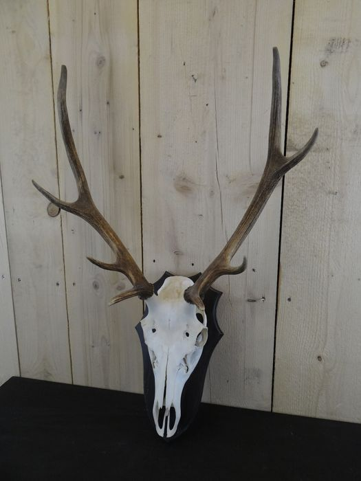 Red Deer Trophy on shield - Cervus elaphus - 55×35×75 cm - Catawiki