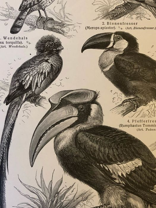 Meyers - Set of 14 antique bird prints (1907): hornbill, owls, ostrich, swan, vultures