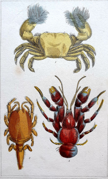 3 prints - G.Henderson (19th century) - Collection Handcoloured Butterfly & various Crabs