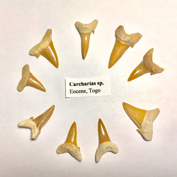 Set of Fossil Shark - Teeth - Carcharias sp. (9)