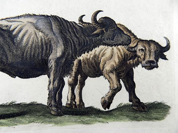 Matthäus Merian (1593-1650) - Buffalo Bison Bos - Folio hand coloured engraving - 1657