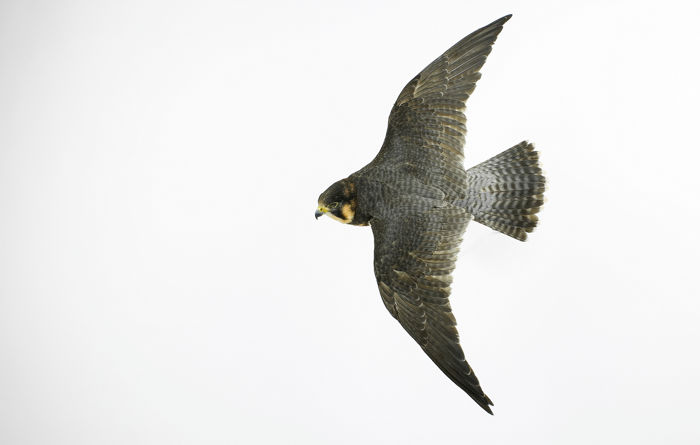 Museum Quality - Barbary Falcon mounted as flying/diving Wall mount - Falco  pelegrinoides - with full CITES Article 10 - 40×40×70 cm -