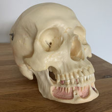 Skull, anatomical dental model 1: 1 - plastic