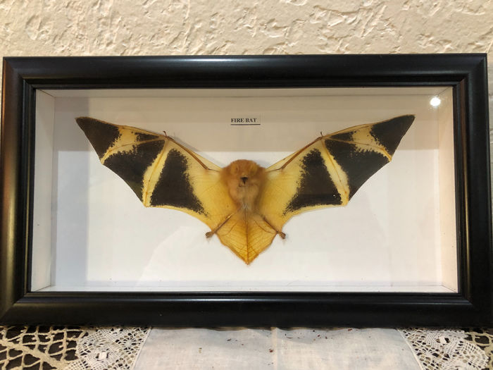 Painted Vesper Bat framed - Kerivoula picta - 17×30×3 cm