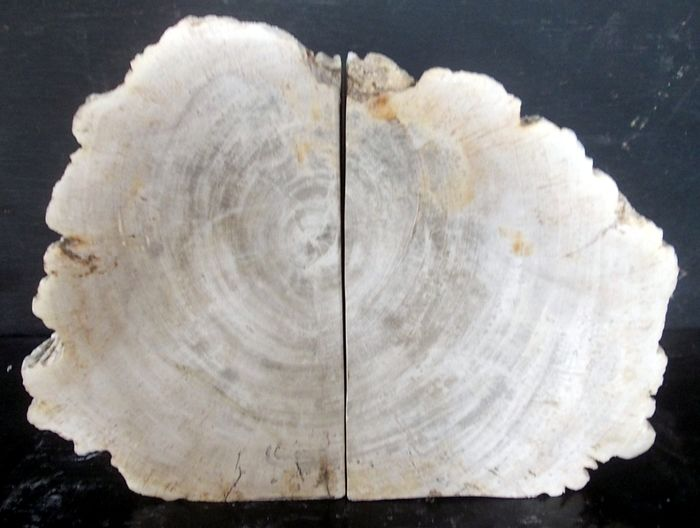 Petrified Wood Support books - 20.5×27×6 cm - 6 kg
