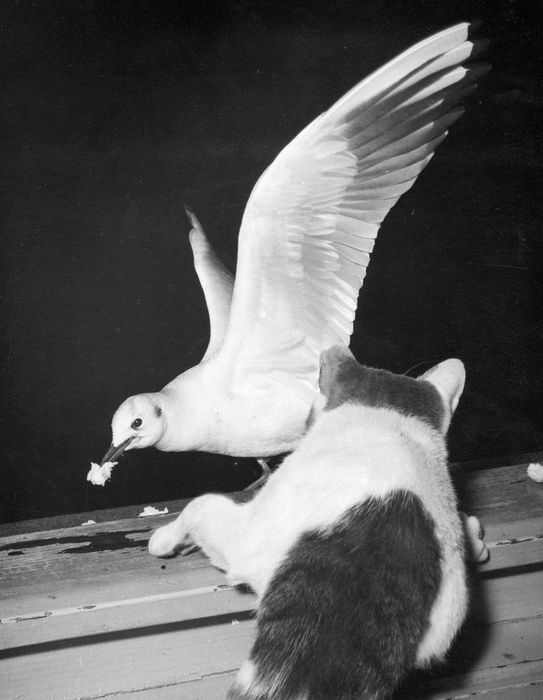 Kees Scherer (1920-1993) - Seagull with cat - Amsterdam 1953