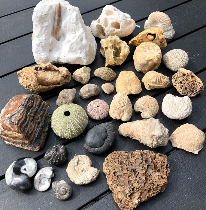 Interesting, mixed Fossil Collection - includes Ammonites and Baby Mammoth Molars (32) - various - 27×135×100 mm