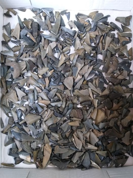 Mixed accumulation - Fossil Shark and Ray teeth - various species - 1 kg  (500-700)  - 10×25×45 mm