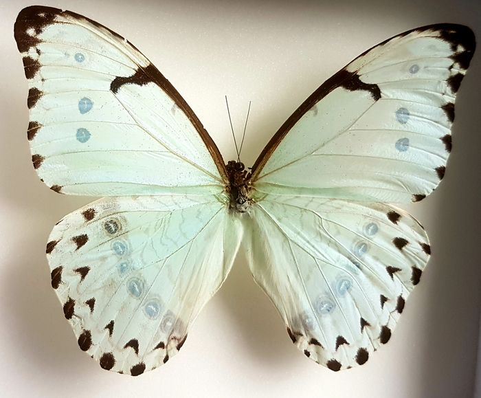 Mint Morpho Butterfly Shadow box - Morpho catenarius - 15×5×18 cm