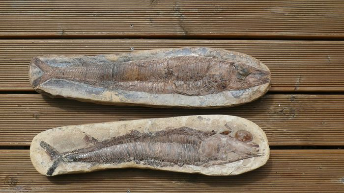 Fish fossil with scales - 52.0 x 13.0 cm - keine Information