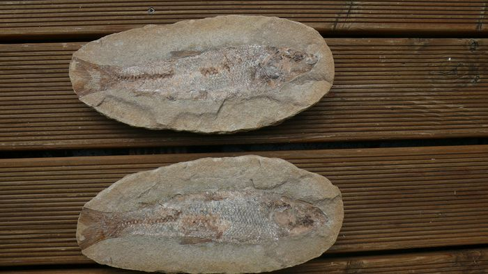 Fish fossil with scales 27.0 x 12.0 cm