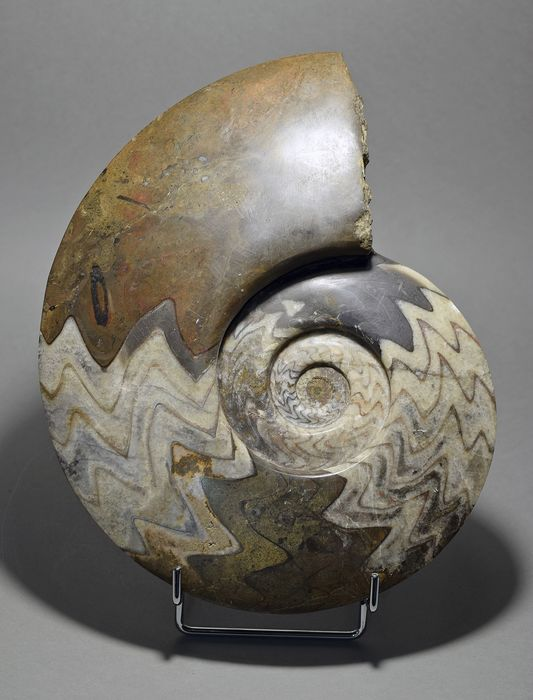Beautiful polished ammonite - Gonioclymenia speciosa