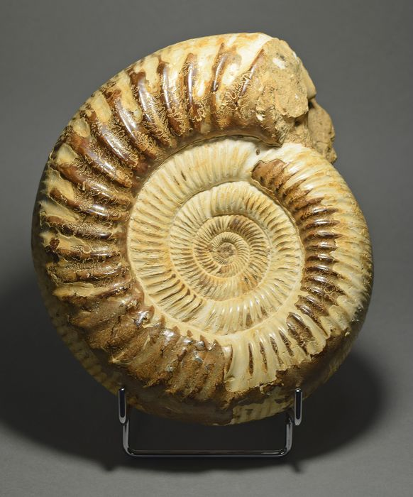 Polished decorative ammonite - Kranaosphinctes sp.
