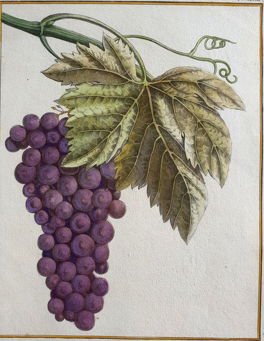 5 botanical pomology wine prints -  Hulk ( 18th century) & Various other  - The Grape, Meunier, Teinturier, Le Gouais & Le Ciota grapes- handcolored botanical pomology Grapes