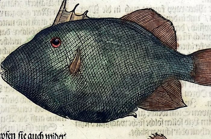 Conrad Gesner (1516-1565) - Folio with 7 hand coloured woodcuts: Triggerfish, Bream - 1669
