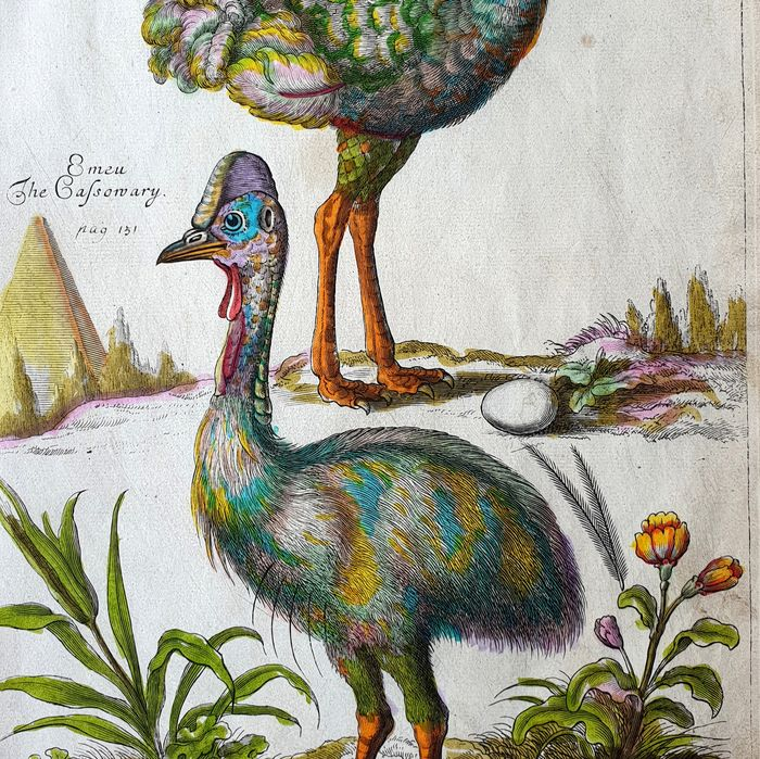 Emma Willughby  (17th century)  - The Ostrich  - handcoloured large sized - from one of the most influential works on Ornithology