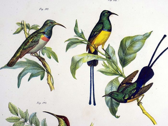 2 folio colour lithographs by Leopold Fitzinger (1802 – 1888) - Bee Eaters; Birds of Paradise - 1860
