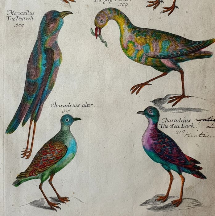 Emma Willughby  (17th century)  - The Lapwing - hand coloured large folio sized- from one of the most influential works on Ornithology