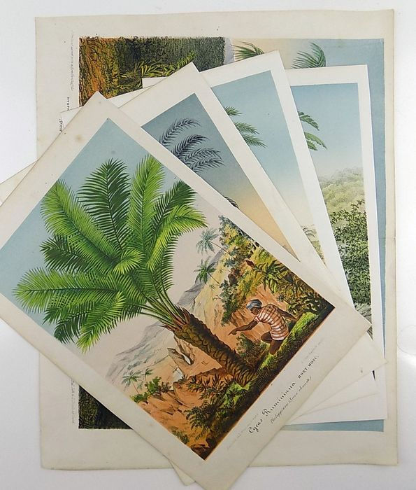 5 fine early colour lithographs of palm trees - - 1878