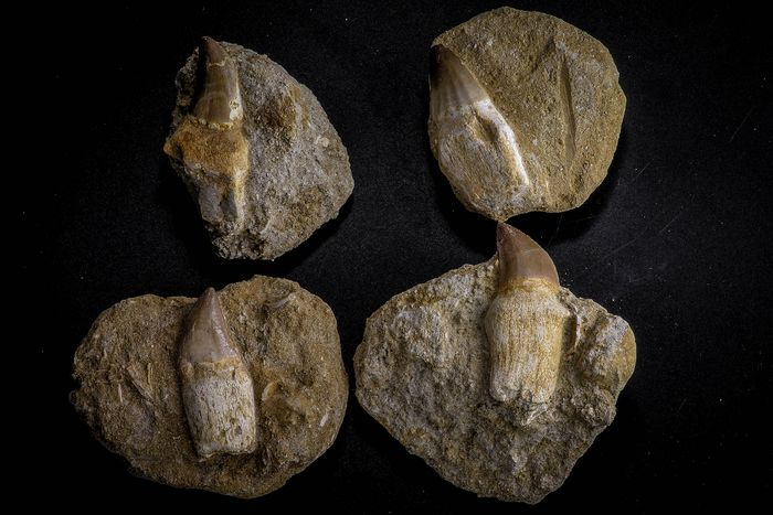 Mosasaur - On matrix - Great Collection - Prognathodon anceps Rooted Teeth - Cretaceous (6)