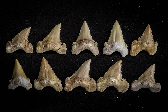 Set of Fossil Shark Teeth - finely serrated - Collection of  Palaeocarcharodon orientalis (Pygmy White Shark) (10)