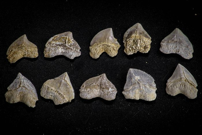 Fossil Crow Shark Teeth - collection - Squalicorax pristodontus (10)