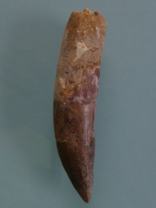 1 A Spinosaur Tooth - Spinosaurus aegyptiacus - 110 × 35 × 30mm, 1 A Spinosaur Tooth - Spinosaurus aegyptiacus - 110 × 35 × 30mm - Tooth, Tooth - Spinosaurus aegyptiacus , Spinosaurus aegyptiacus  - 30×35×110×mm, 30×35×110 mm