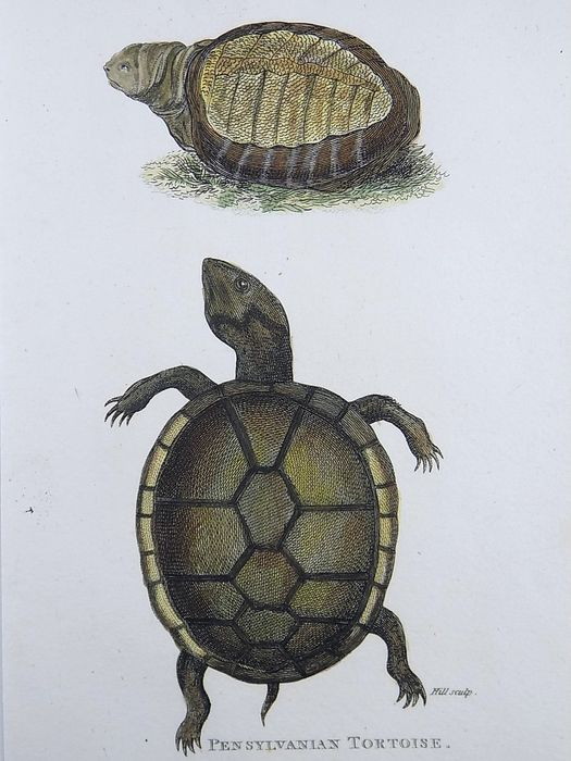 4 copper engravings by George Kearsley Shaw (1751 - 1813); Grant sculp. - Amphibians: Tortoises - Hand coloured - 1801