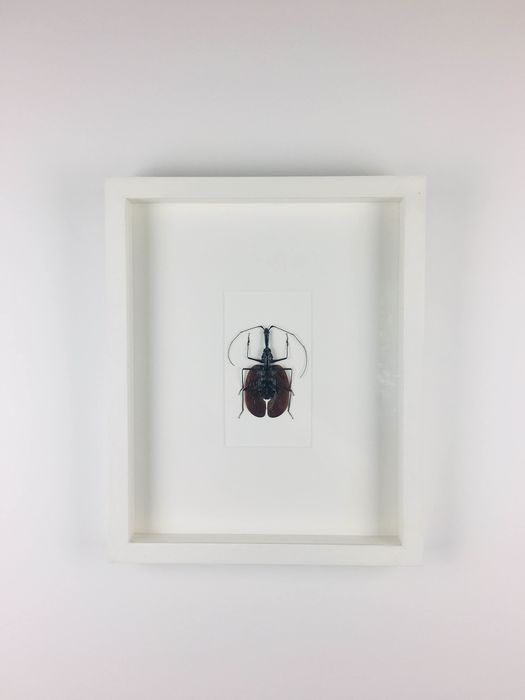 Violin Beetle finely framed - Mormolyce phyllodes - 4×28×35 cm