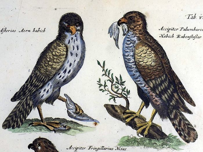 Matthäus Merian (1593-1650) - Birds of Prey Accipiter Goshawks Kestrel Falcon - Folio hand coloured engraving - 1657