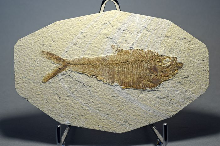 Decorative fish on slab - Diplomystus dentatus