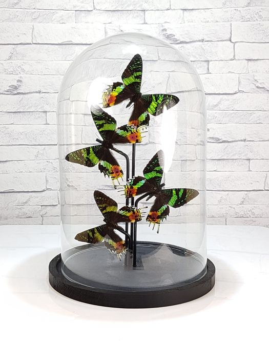 Madagascan Sunset Moths mounted under glass dome - Urania ripheus - 32×20×20 cm