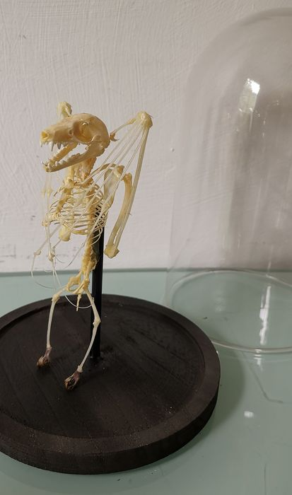 Cave Nectar Bat skeleton under glass dome - Eonycteris spelaea - 23×0×0 cm