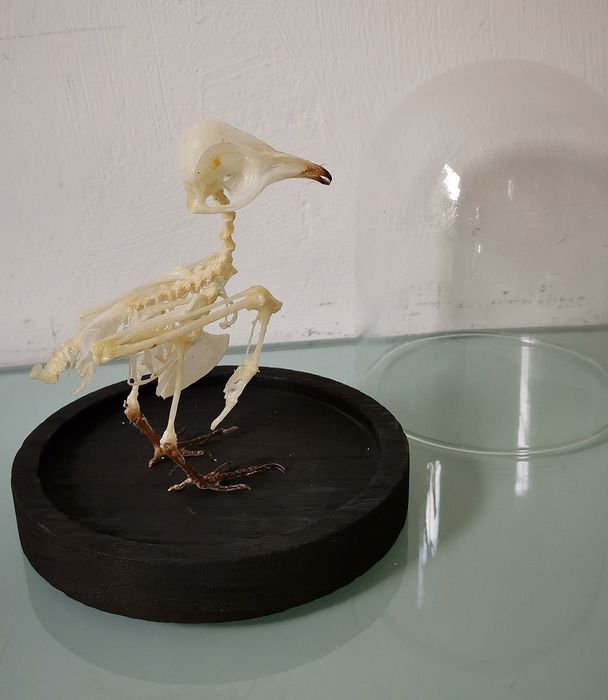 Nightjar - Articulated Skeleton under glass dome - Nightjar sp. - 15×12×12 cm