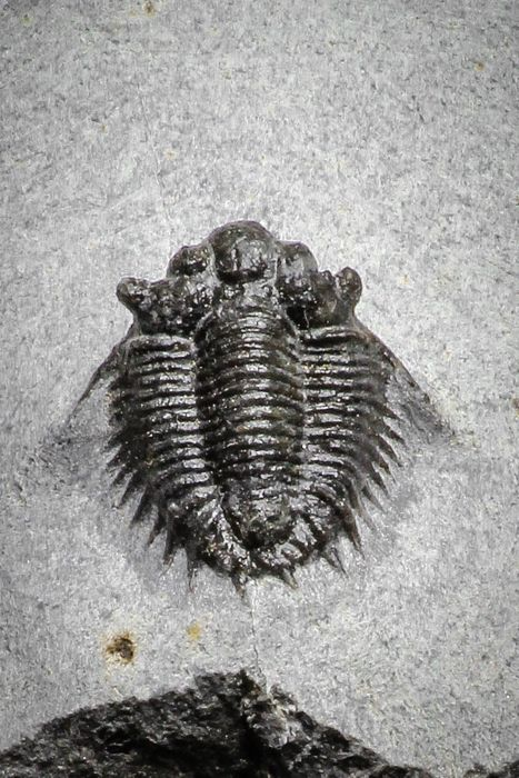 Trilobite - On matrix - Top Rare Lichid Trilobite 0.68 Inch Acanthopyge (Lobopyge) bassei Lower Devonian