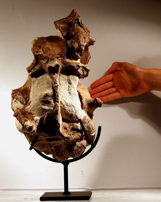 Huge pliosaur vertebra and bones assemblage - Completely natural - On free custom stand - Pliosaur sp. - 37×23×17 cm