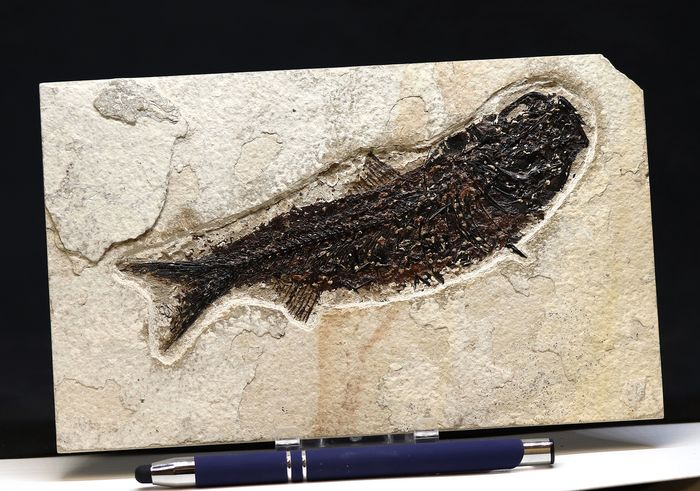 Outstanding fossil fish with open mouth - Microscope preparation - Raised bones  - Mioplosus labracoides  ( 16 cm ) - 20×12×0.8 cm