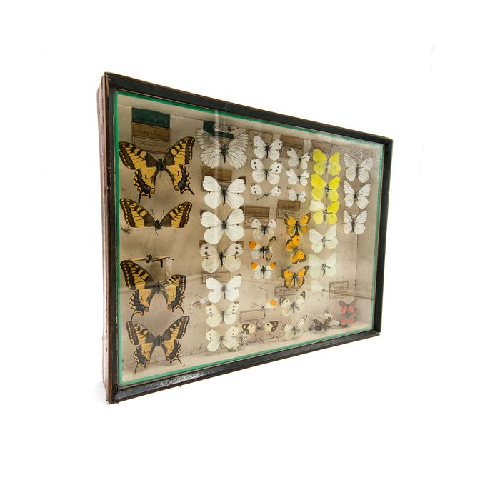 Victorian-era Cased Butterfly Collection with hand-written data labels - Sphingidae (Lepidoptera) - 40×30×6 cm