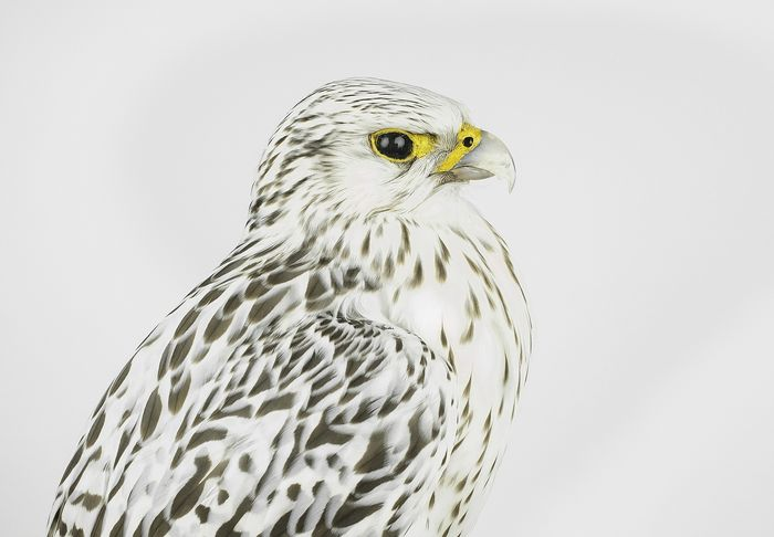Greenland Falcon or White Gyr in good condition Full-body mount - Falco  rusticolus - with full CITES Article 10 - 50×25×35 cm - 4 10 18-18305/2018  -