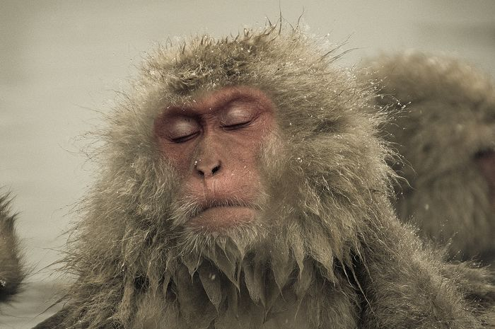 Ron Gessel - Japanese Snow Monkey Nagano