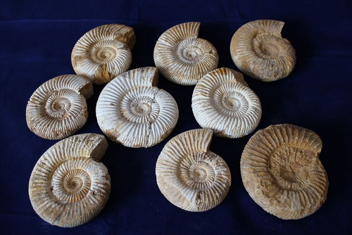 Group of 9 natural Ammonites - matrix-free - Kranosphinctes sp (3)